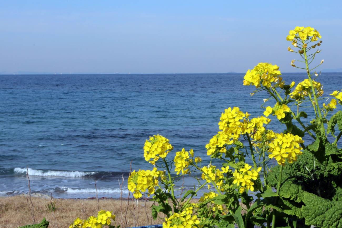 坂田海岸(菜の花越しの海)