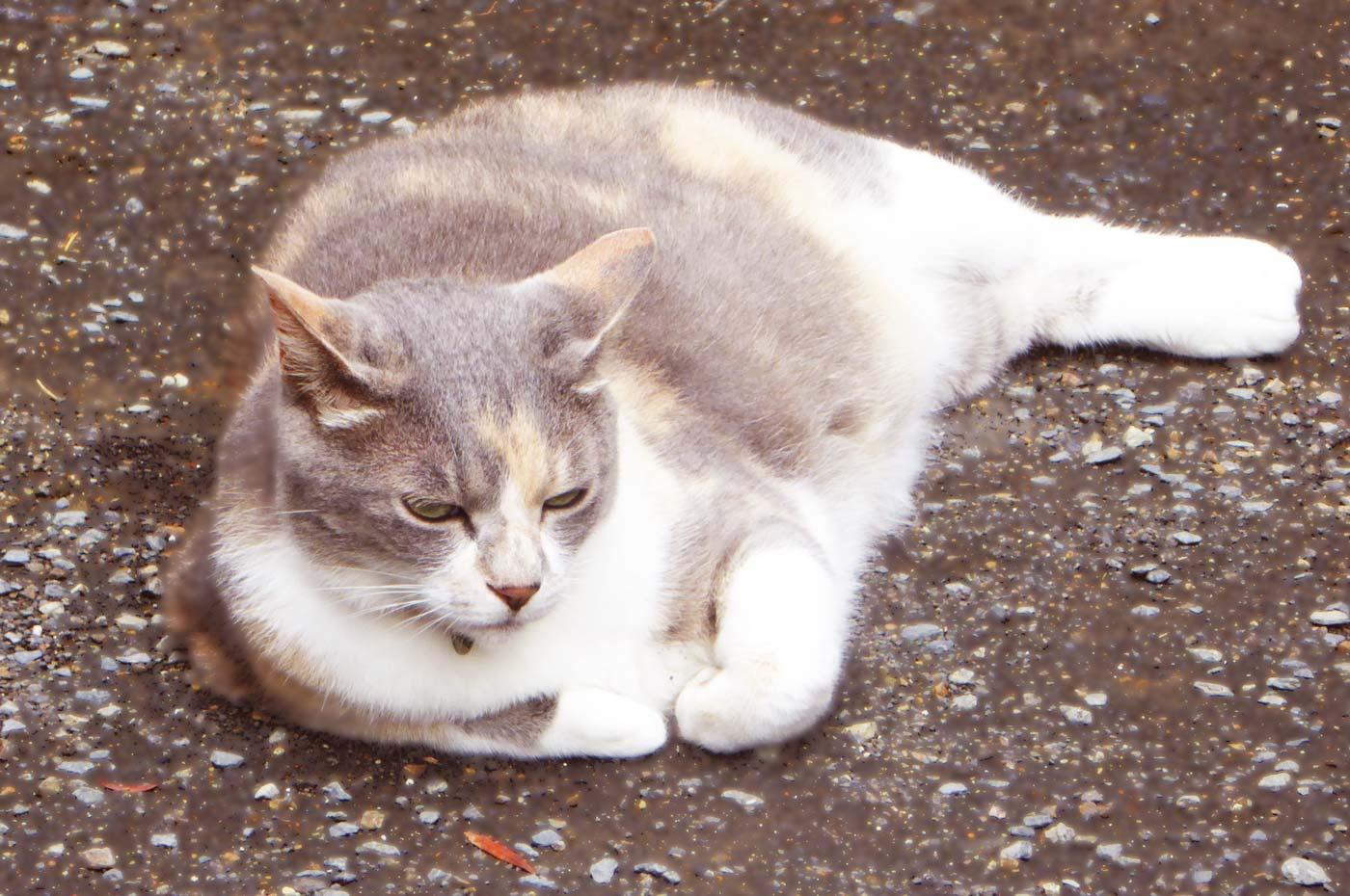 金乗院の白三毛猫