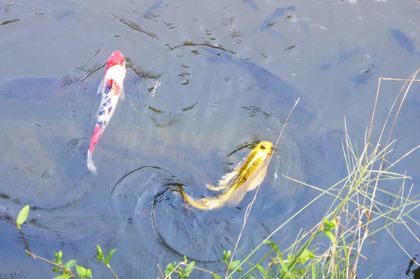 池の鯉とブルーギル