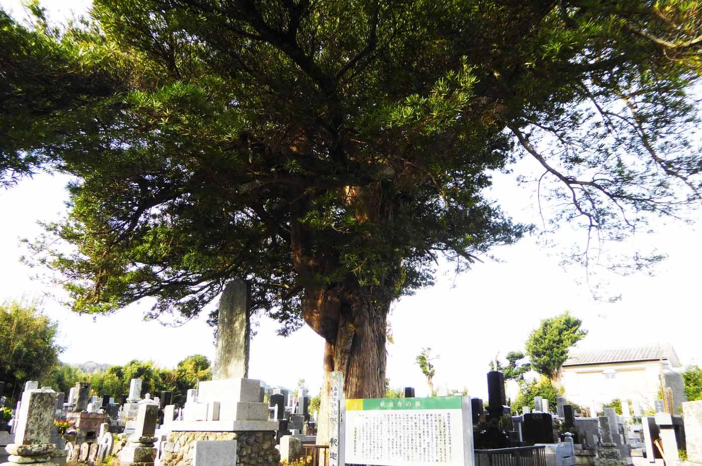 南房総市天然記念物の槙の木の画像