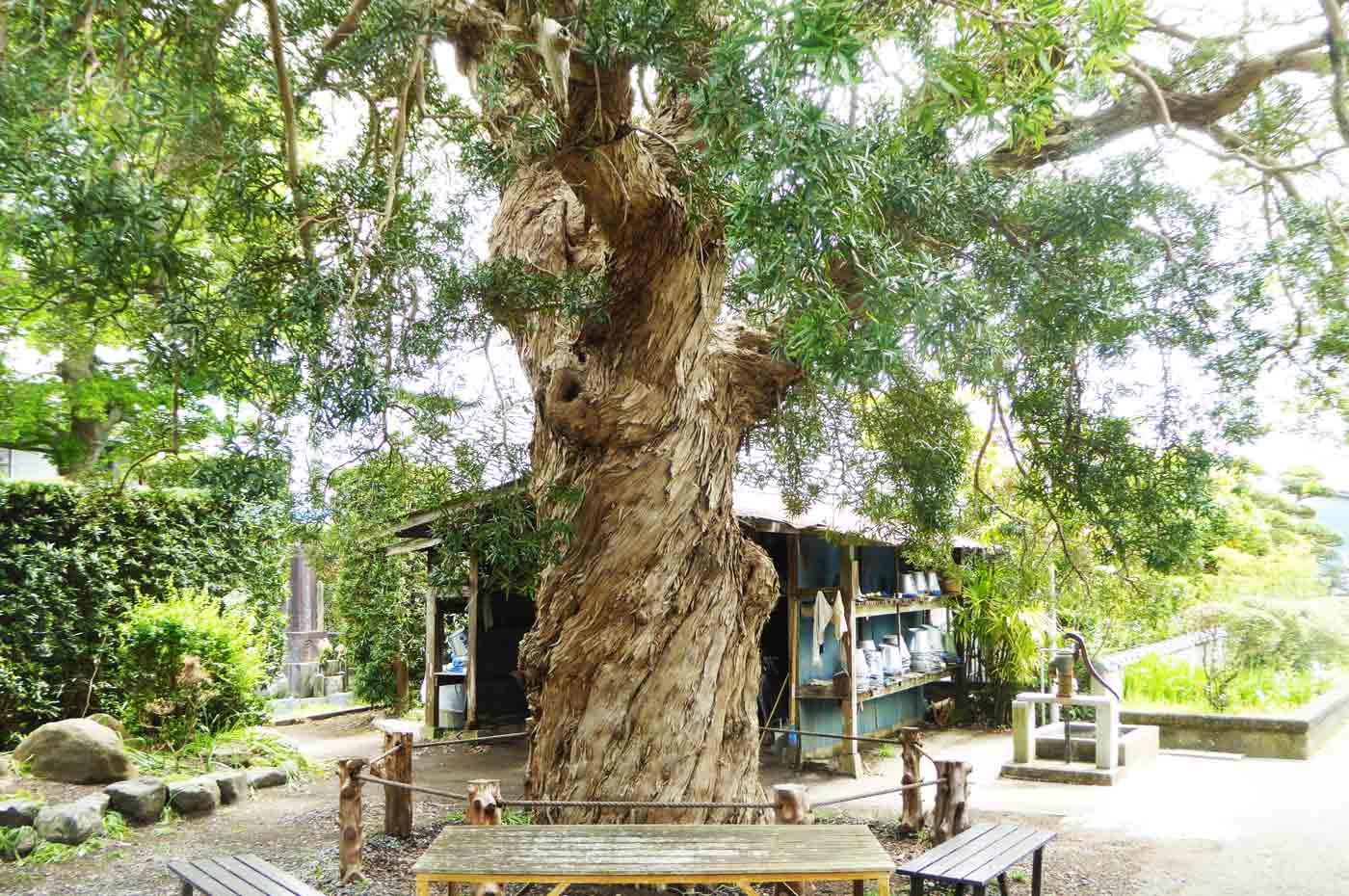 塩蔵寺の槇の大木