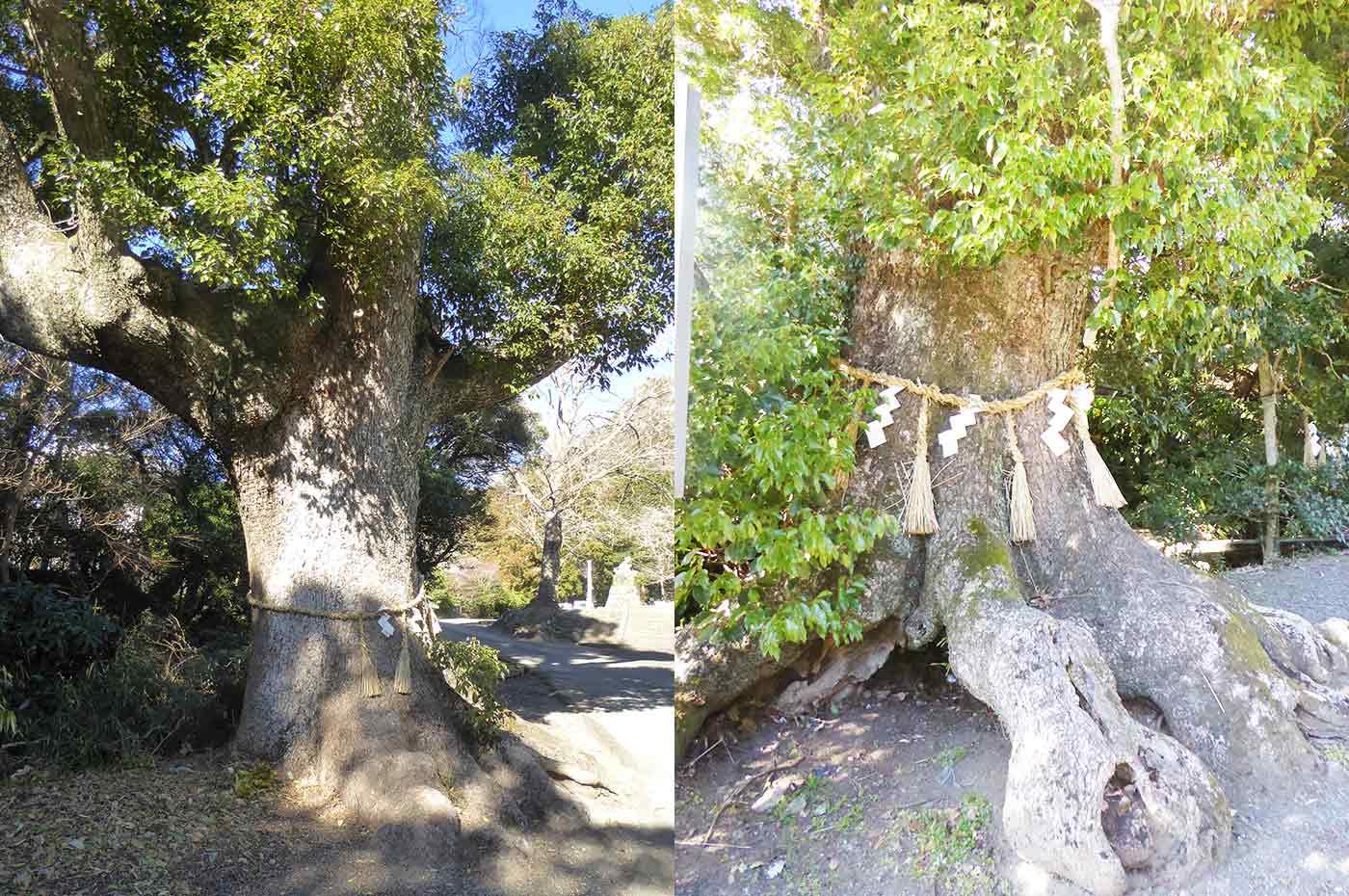 平群天神社 夫婦のくすの木