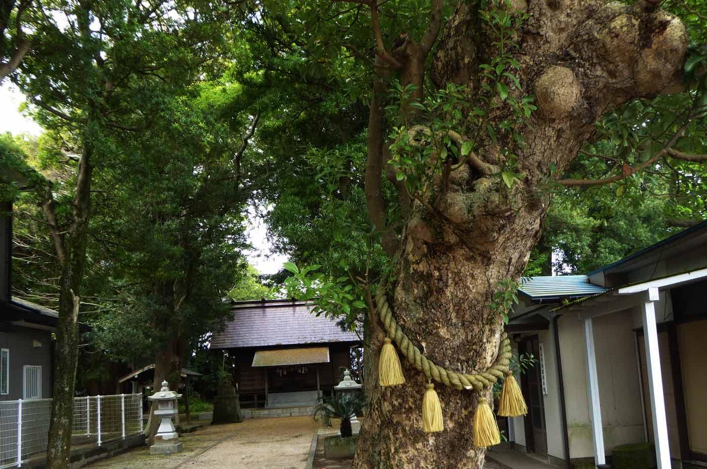 神明神社の大銀杏の写真