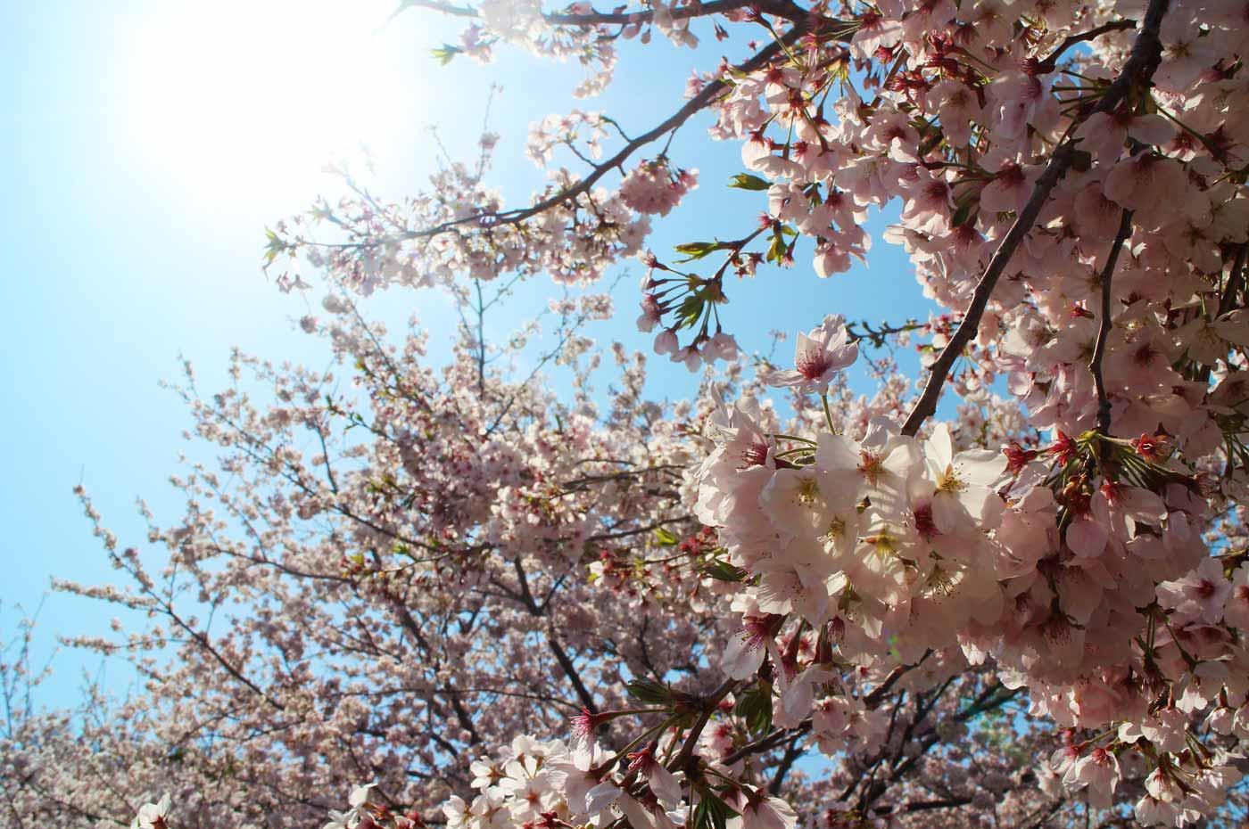満開の桜のアップ画像
