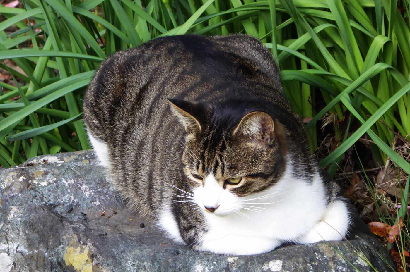 紫雲寺の猫
