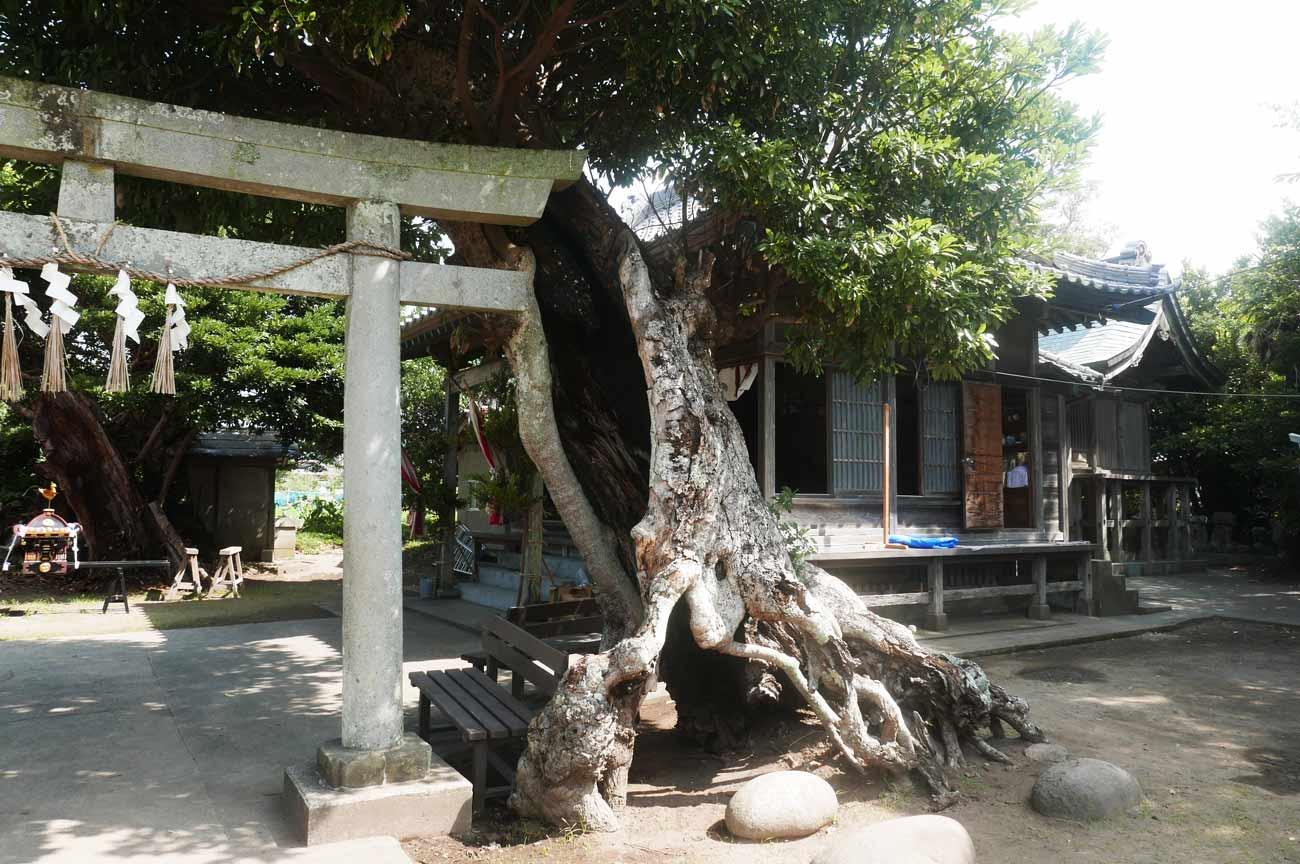八坂神社の御神木の画像