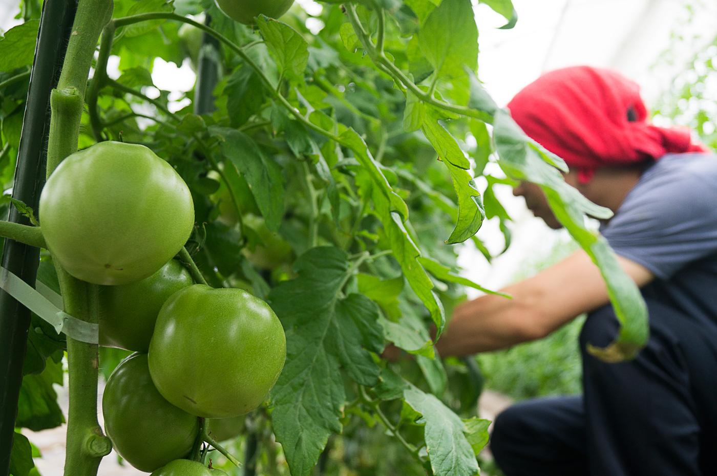 150707_tomato05