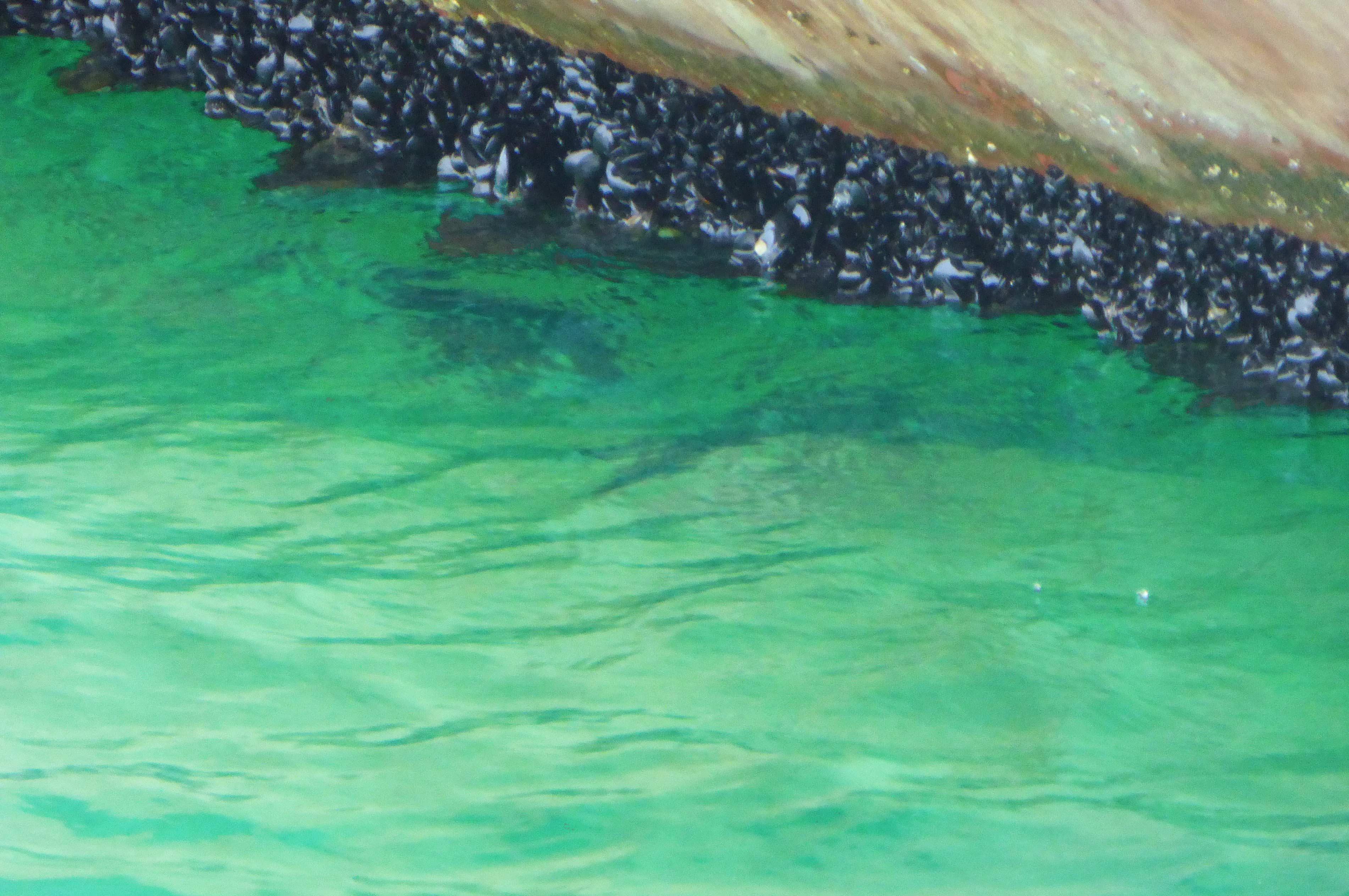 船形港 カラス貝を食べるクロダイ