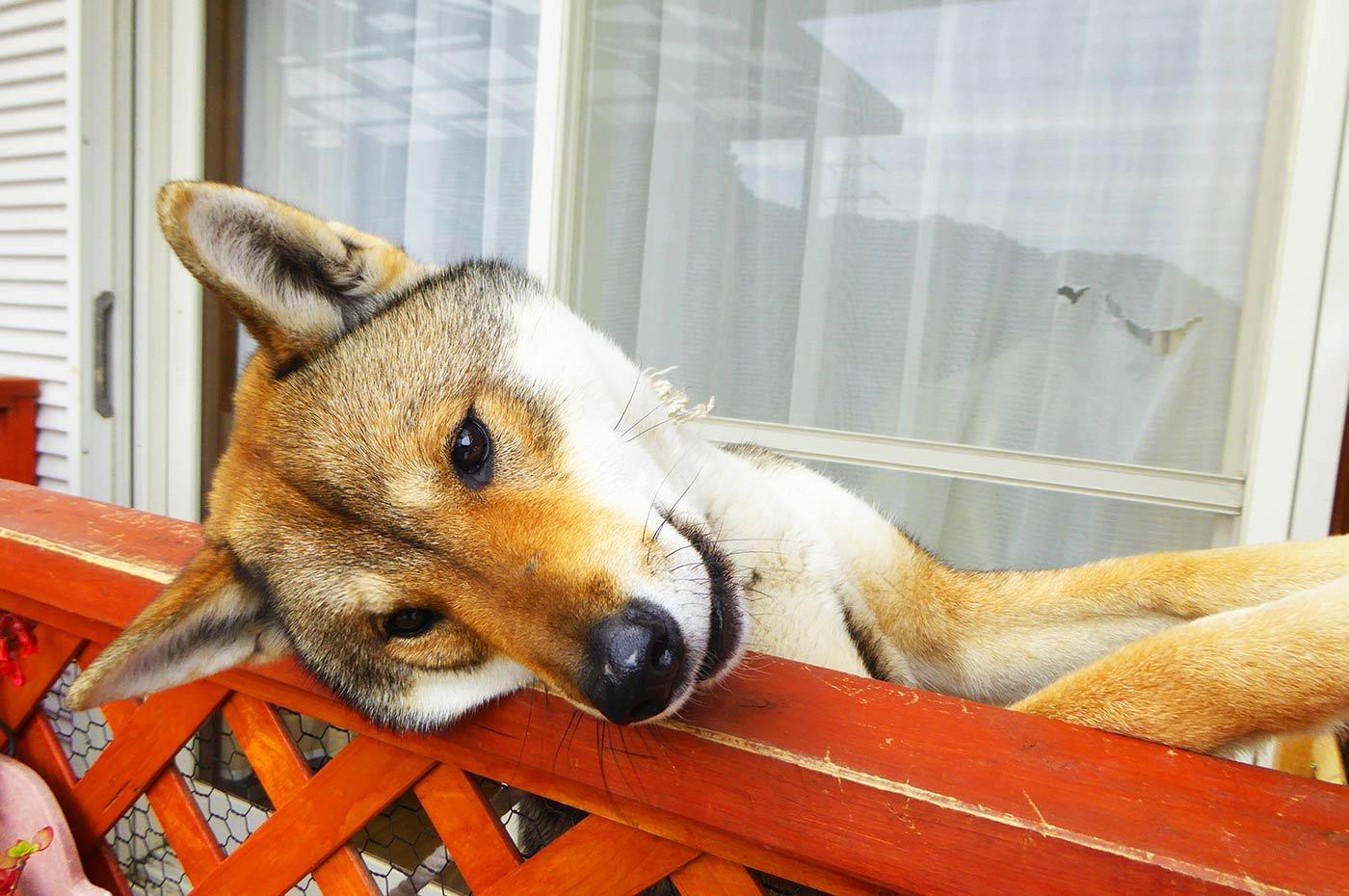 牛タン蔵のアイドル犬