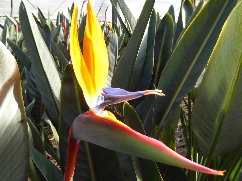 おおつの里花倶楽部 黄色のストレリチア(ゴールド・クレスト)の花