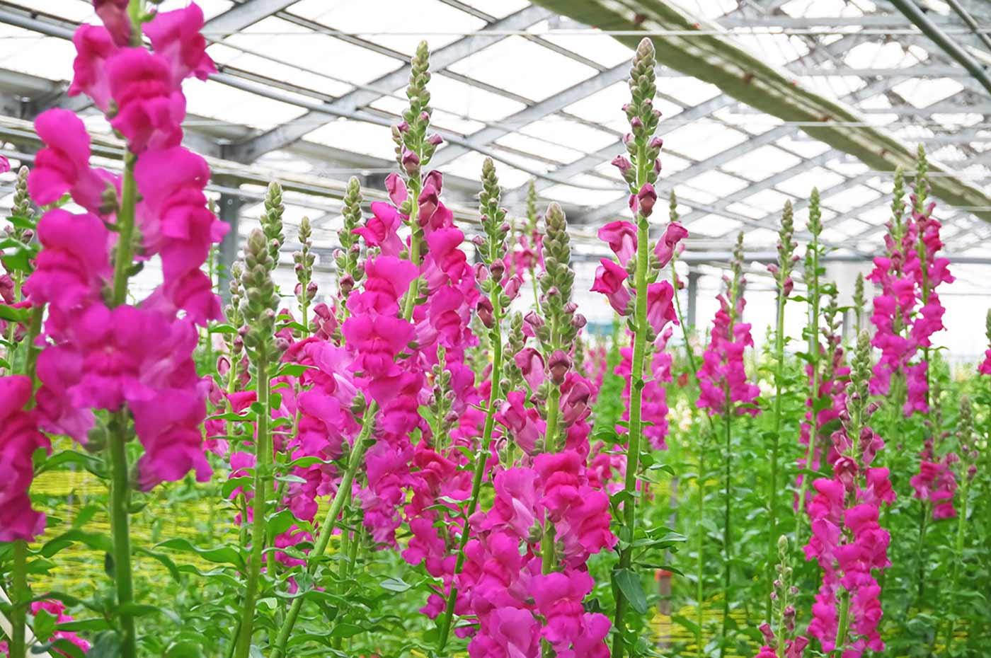 ピンクの金魚草の花