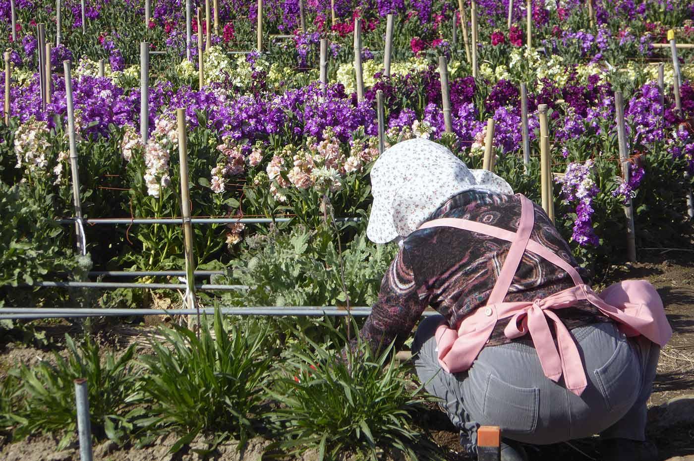 家族時間 南房総 千倉 千田の花畑で働く明るいお母さん