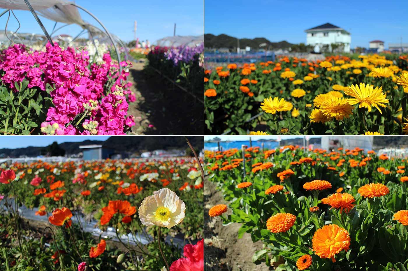 家族時間 南房総 千倉 千田の花畑に咲く春を代表する花々