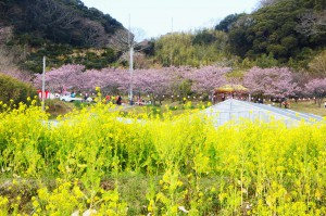 抱湖園 桜と菜の花の画像