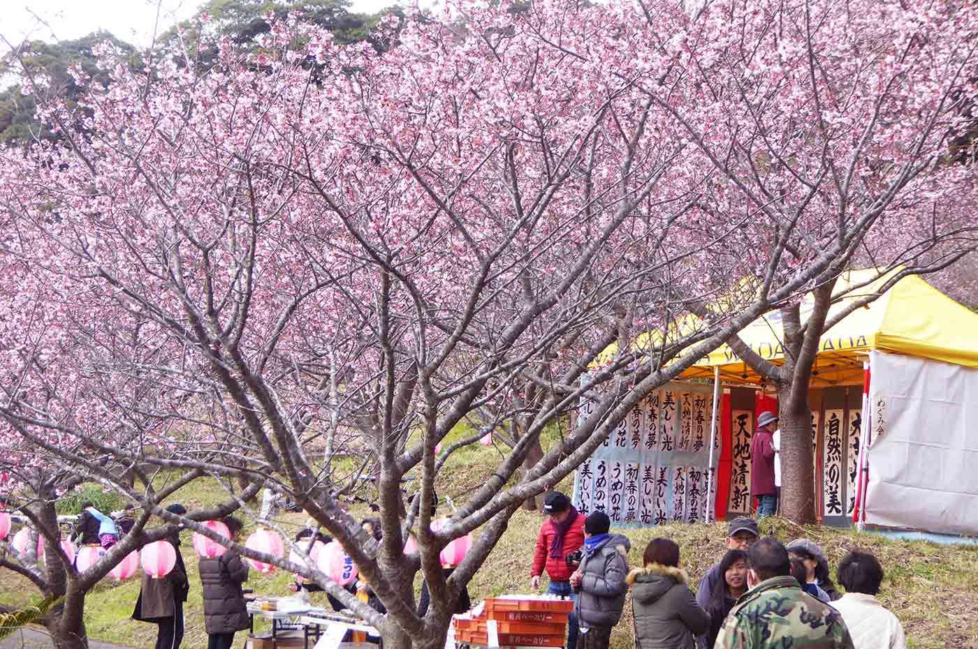 抱湖園の元朝桜