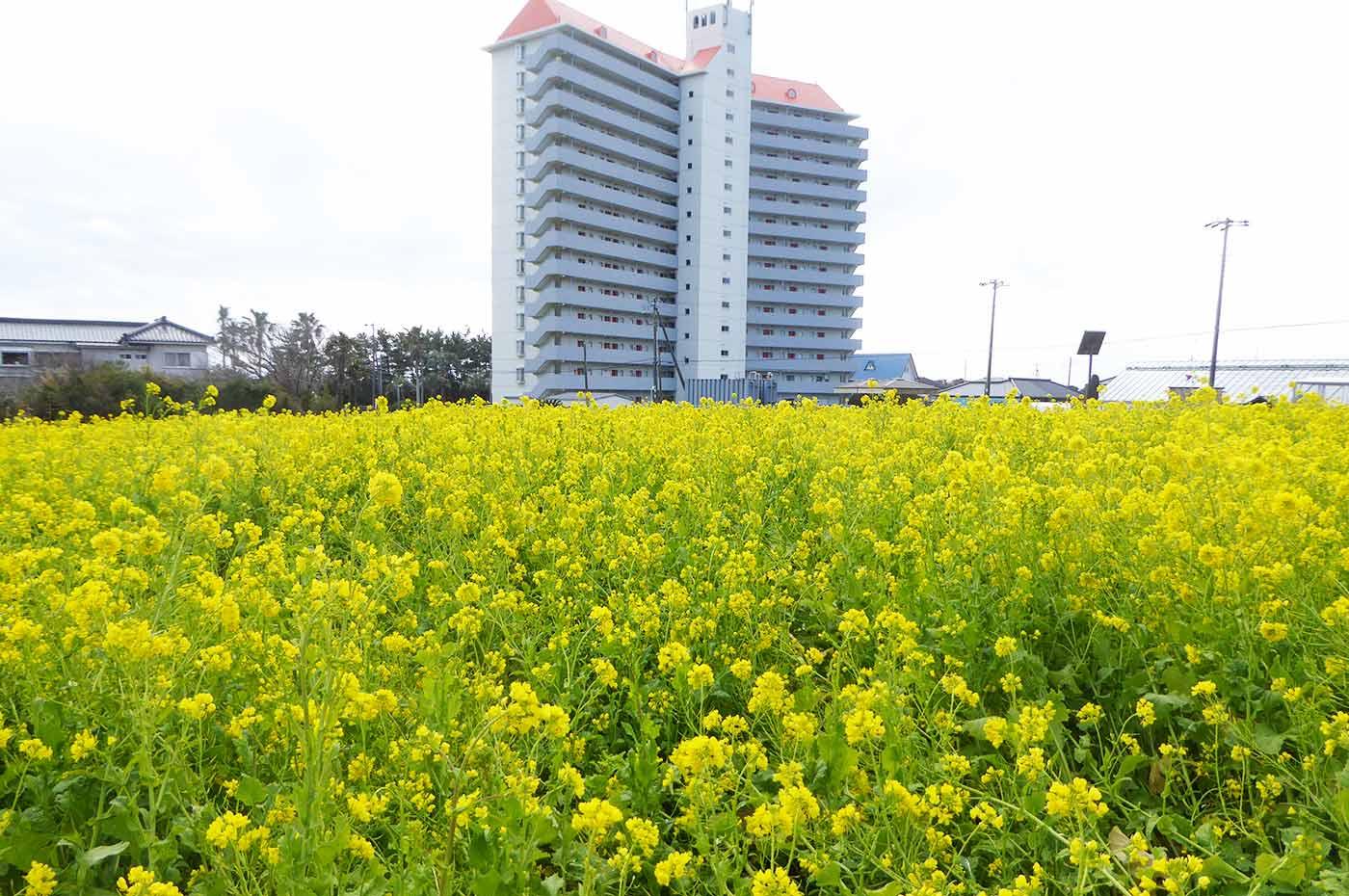 抱湖園入口の菜の花畑