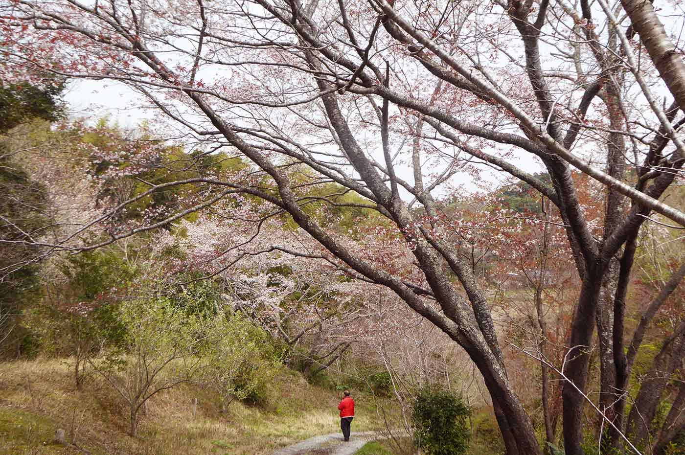 おんだら山  満開の山桜