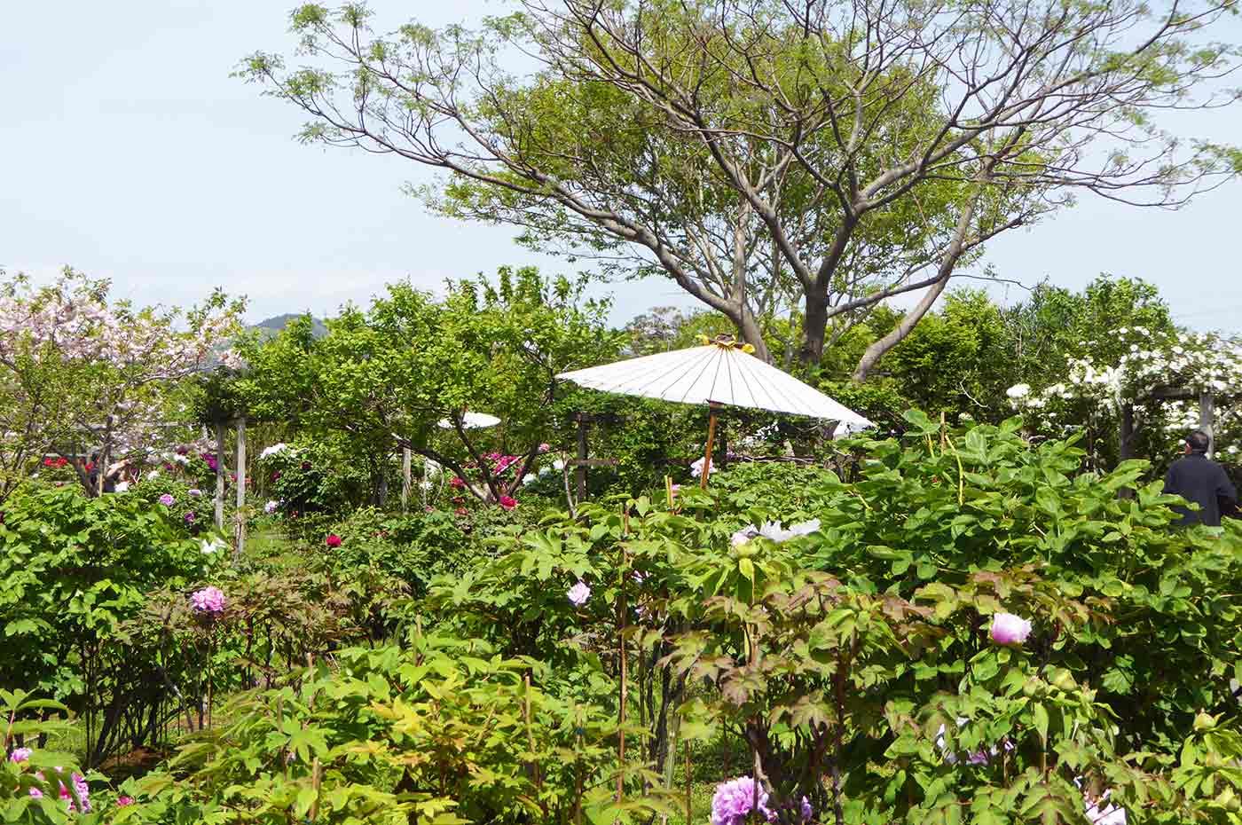 北口牡丹園の八重桜と牡丹の画像