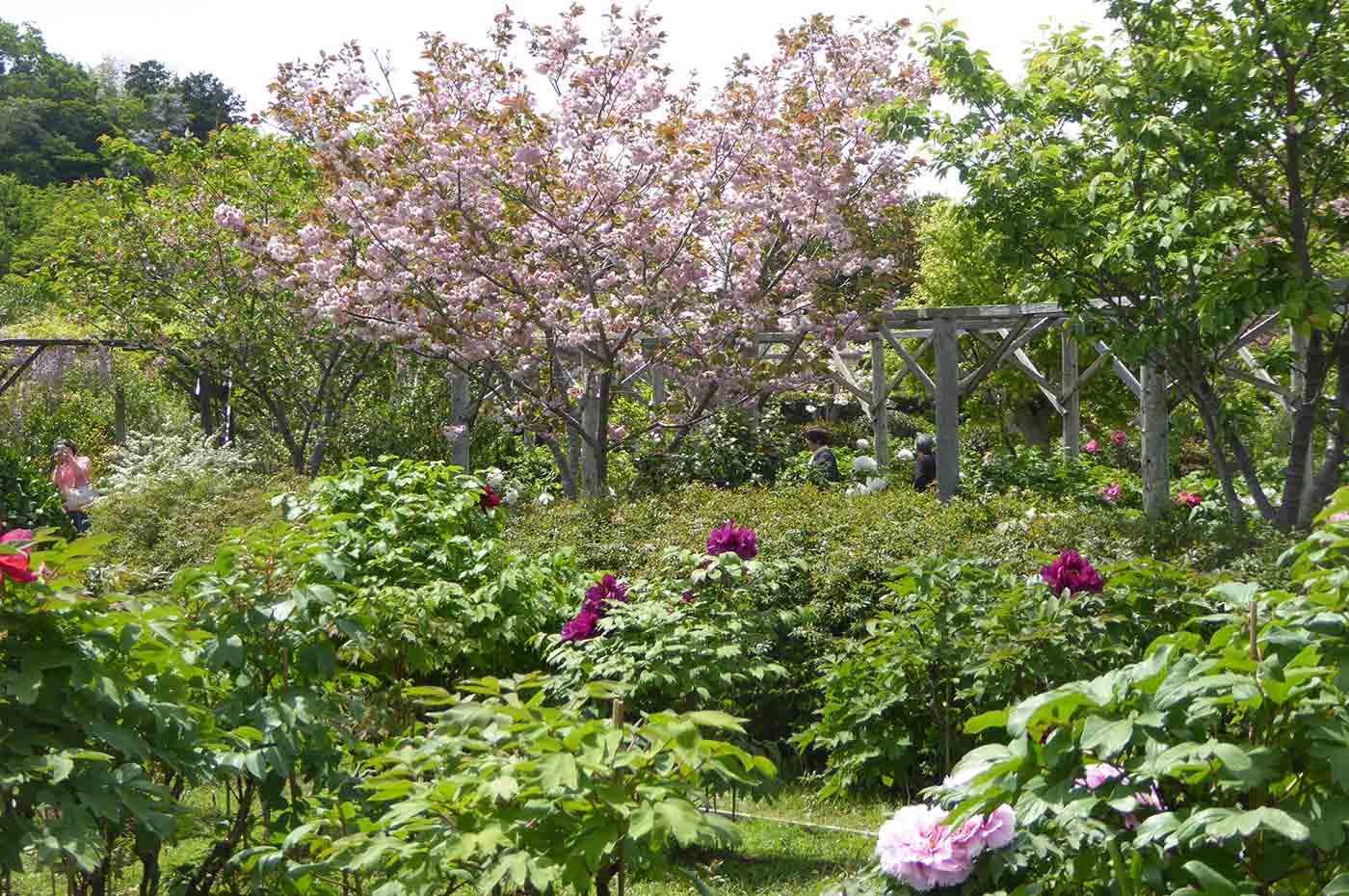 北口牡丹園の八重桜の画像