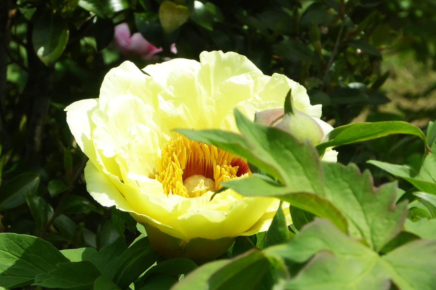 北口牡丹園の黄冠の画像