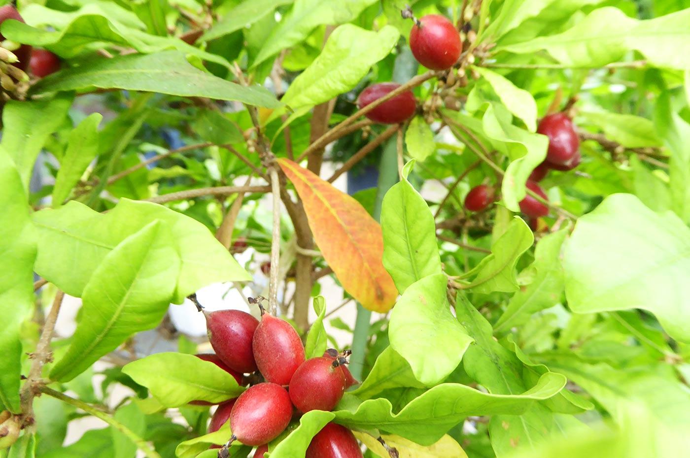 夢の花かん  ミラクルフルーツの苗
