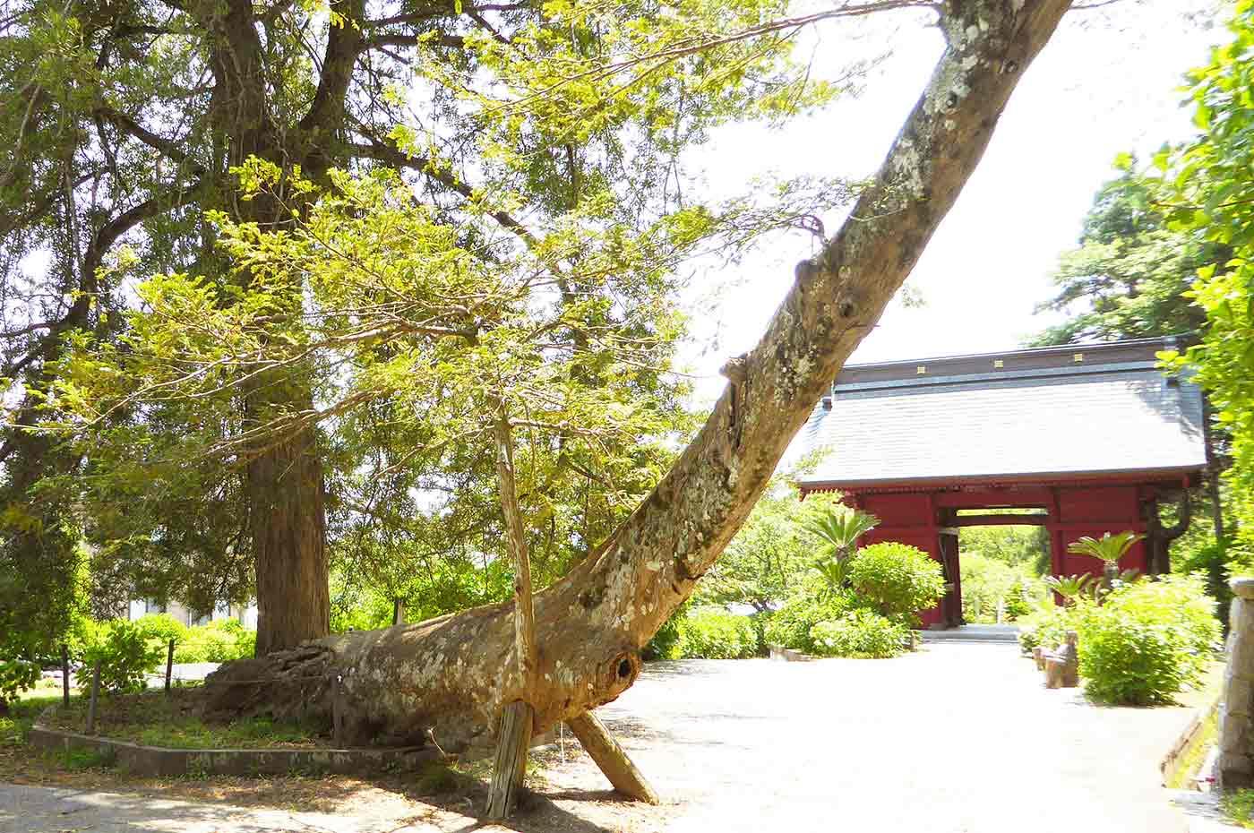 日運寺の榧の木 南房総市天然記念物
