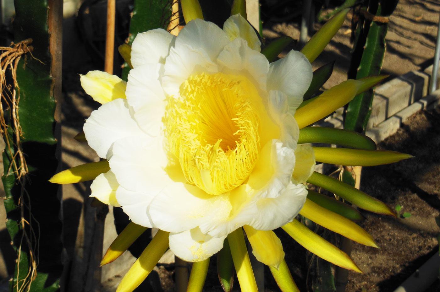 ドラゴンフルーツの花を下から撮影