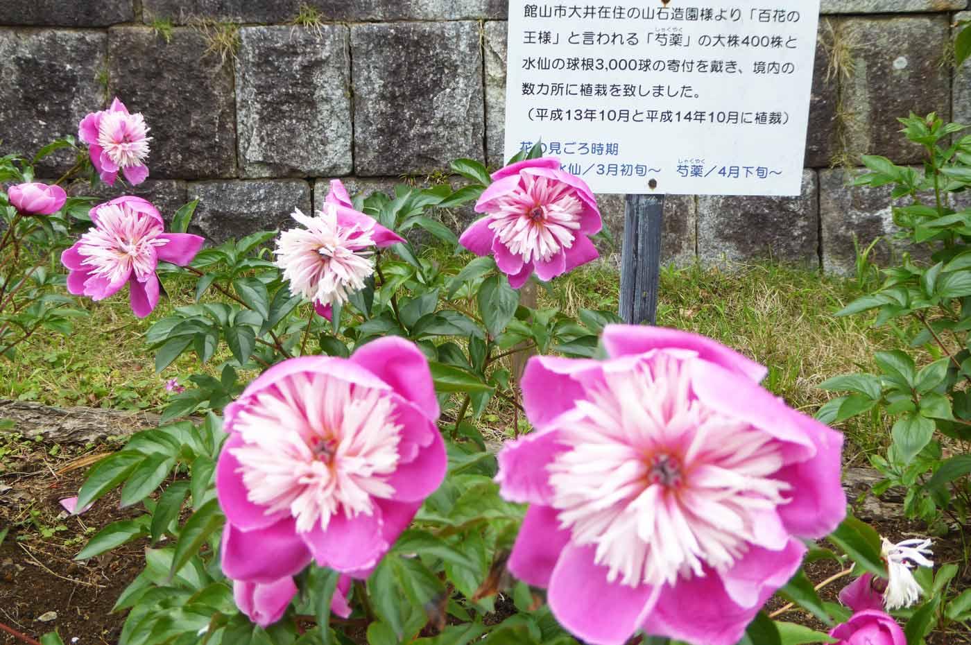 しゃくやくの花の画像