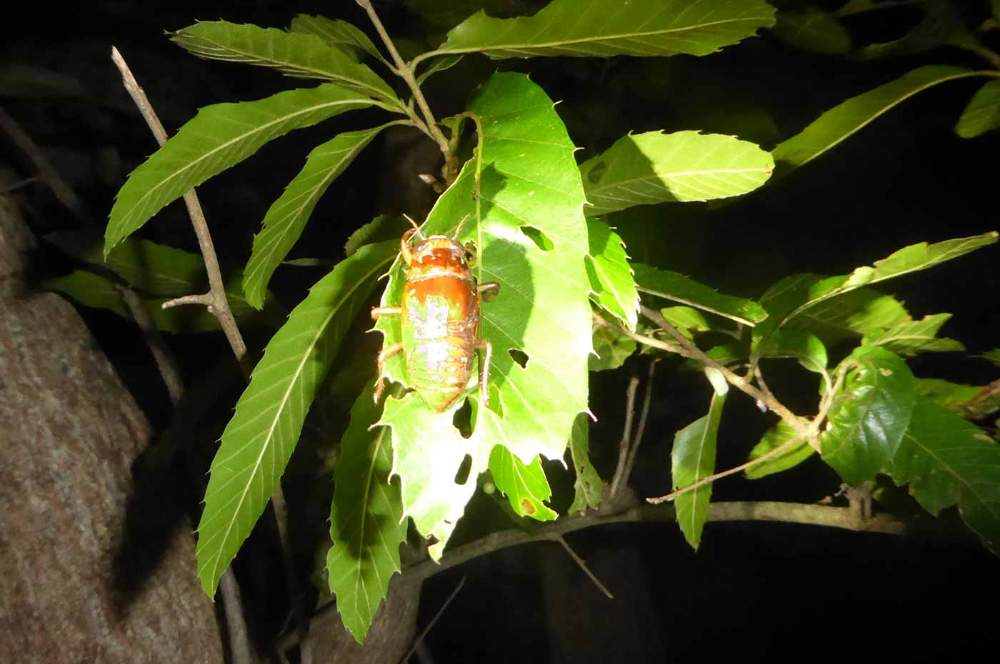 クワガタ採集ツアー セミの幼虫