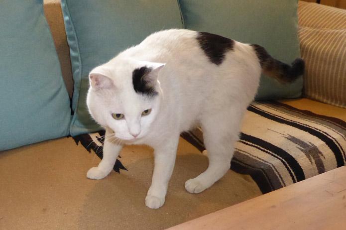 白三毛ネコ
