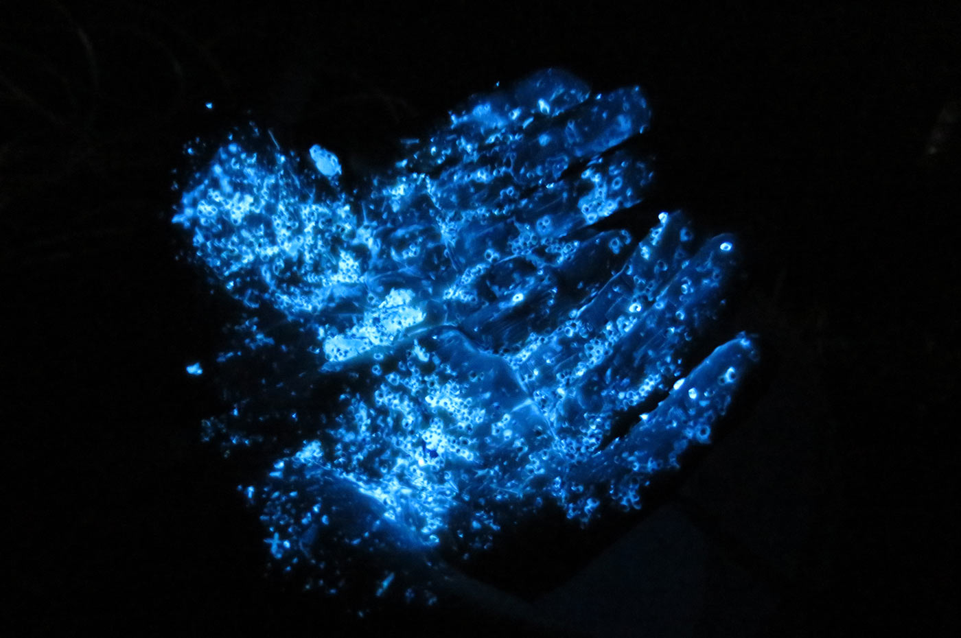 ウミホタルの光