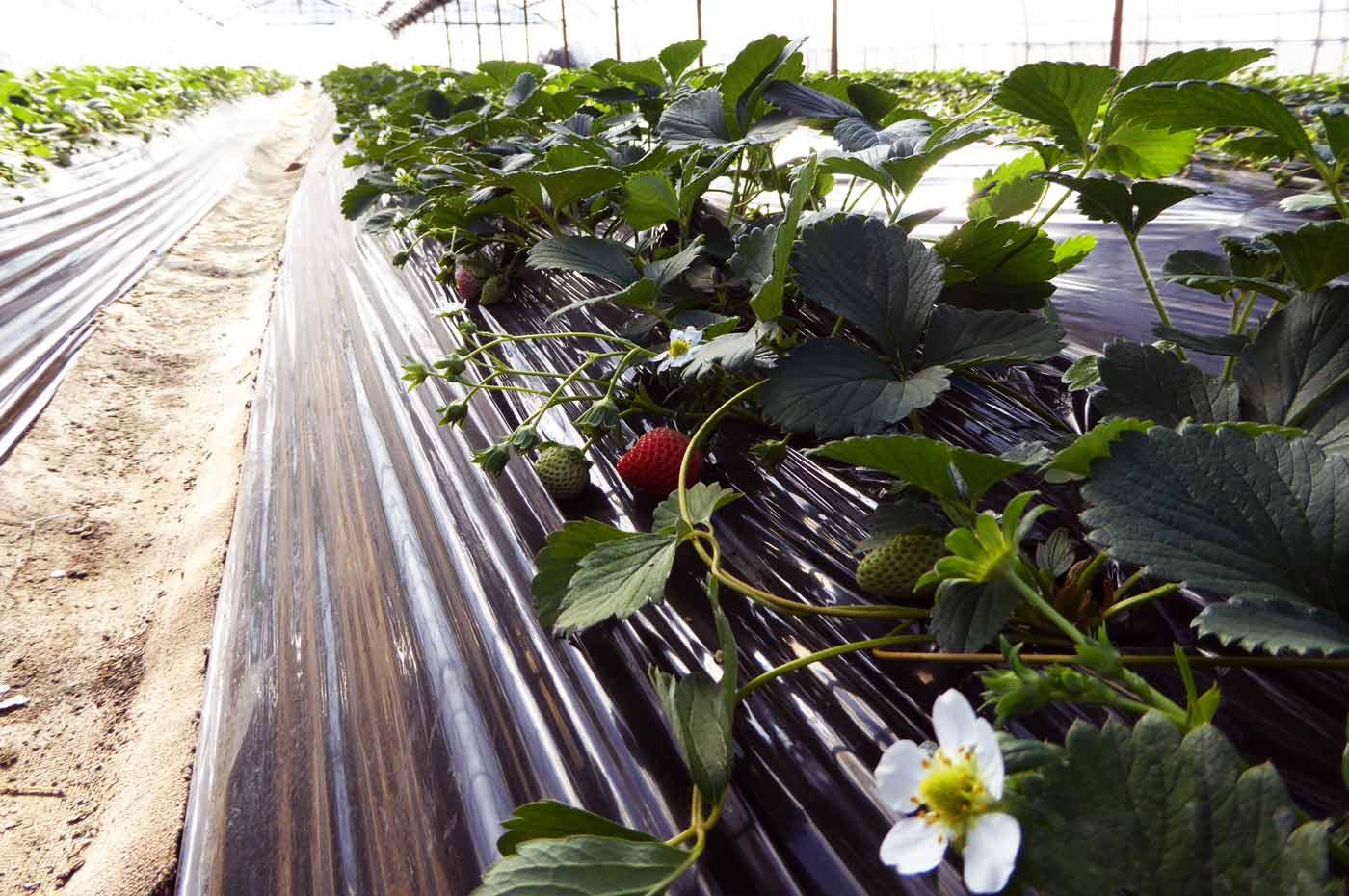 りっちゃん農園のイチゴ