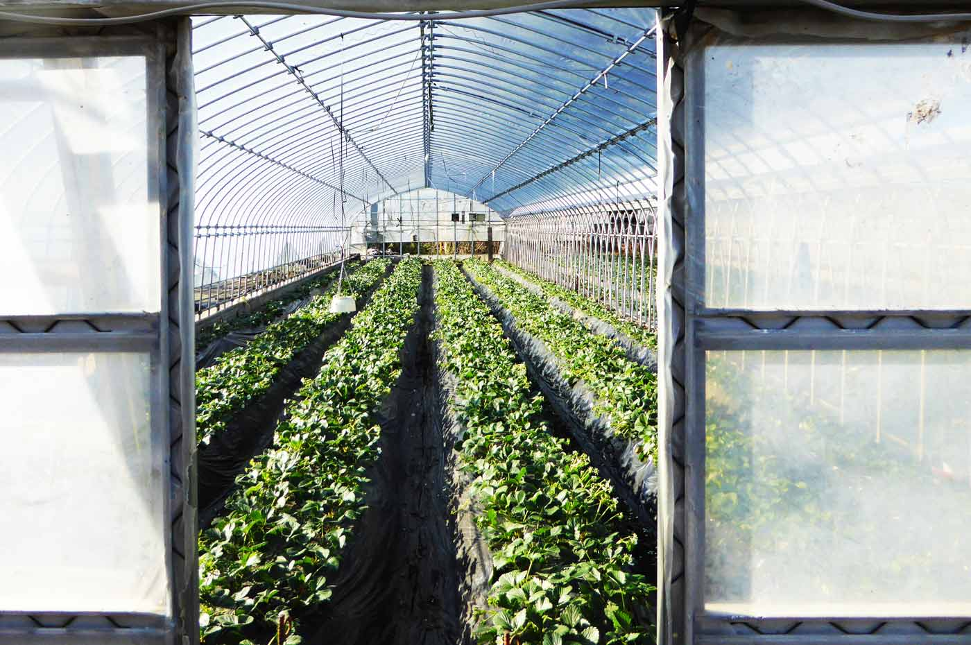 小沢農園のいちごの写真