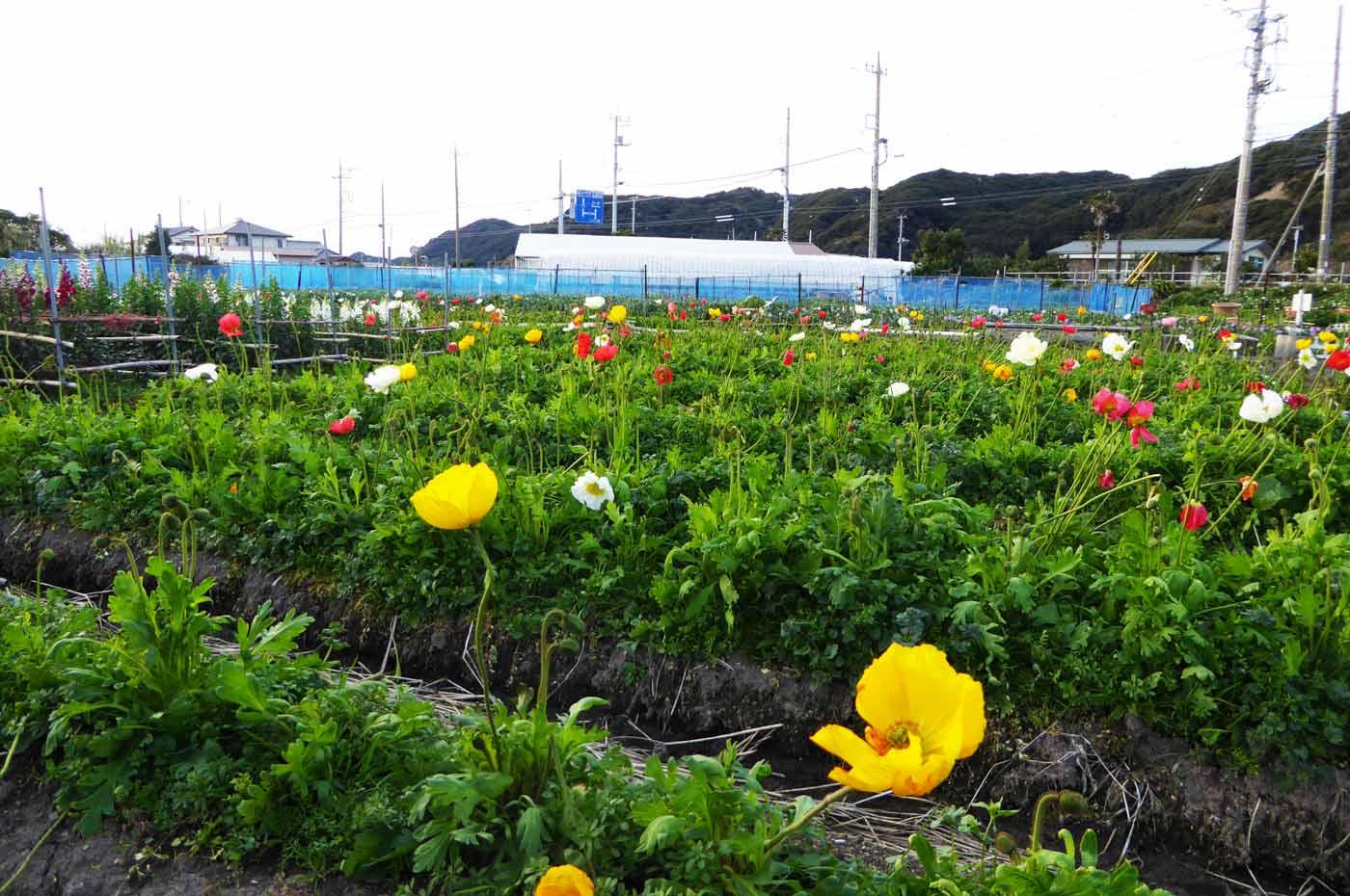 花の里フローラルビレッジ名倉のポピーの写真