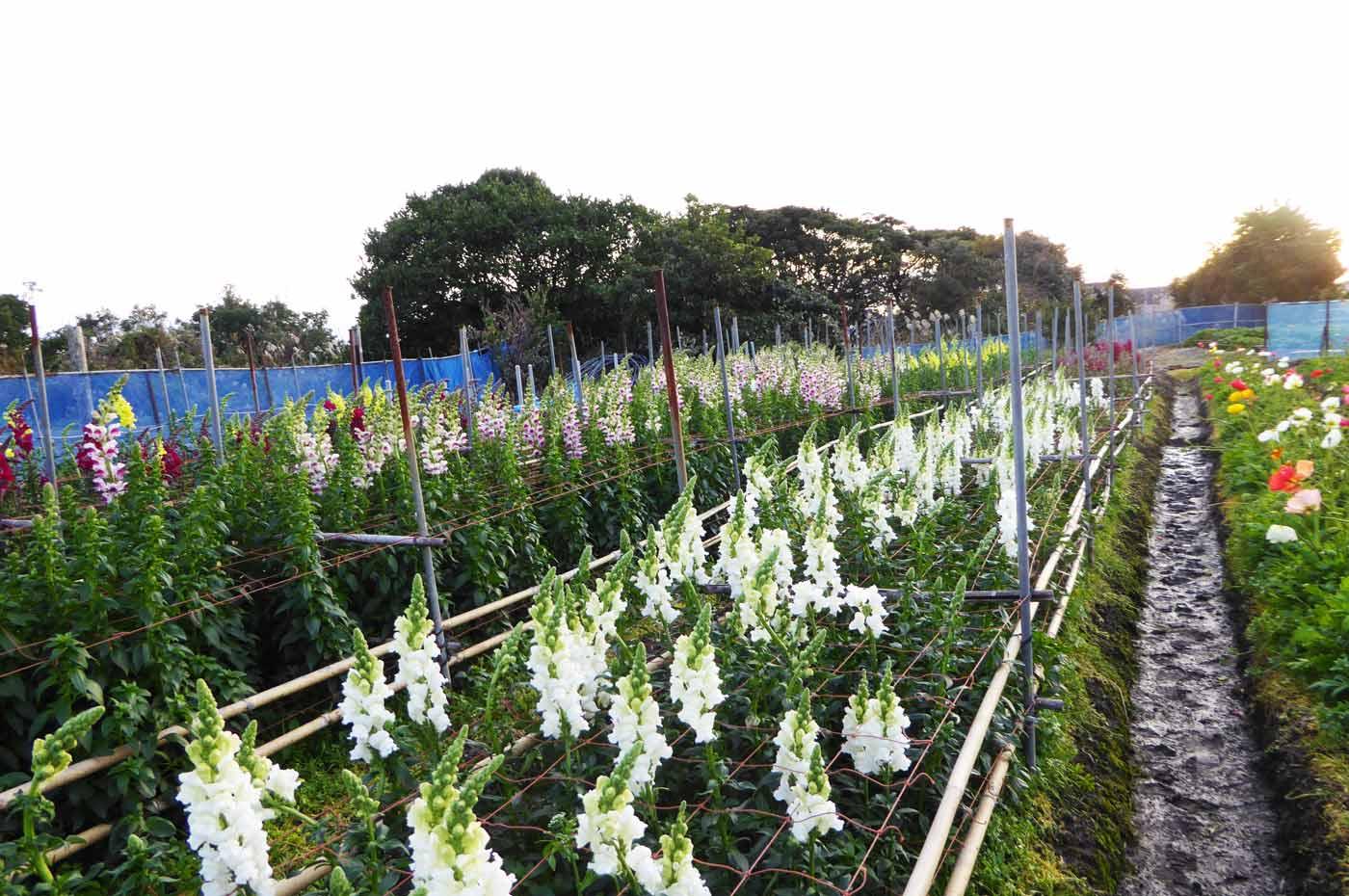 花の里フローラルビレッジ名倉の金魚草の写真