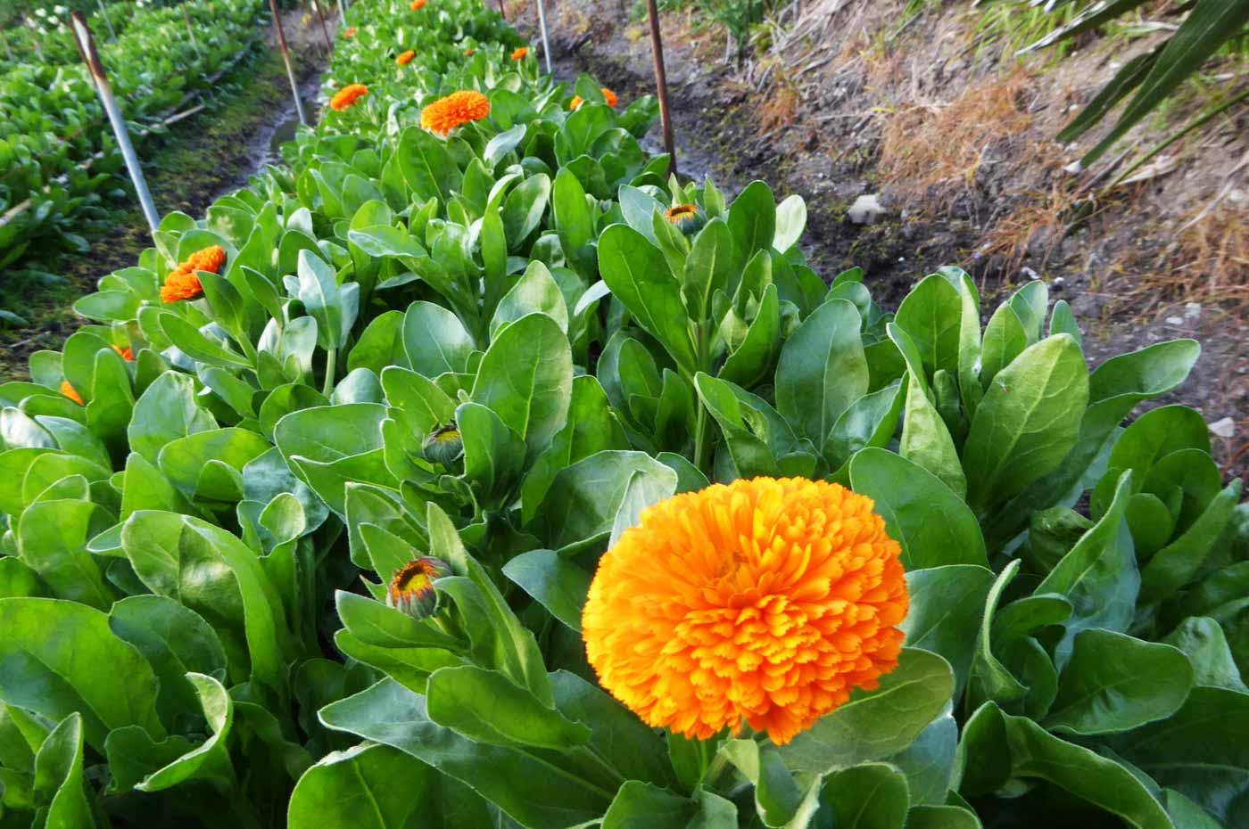 花の里フローラルビレッジ名倉のキンセンカの写真
