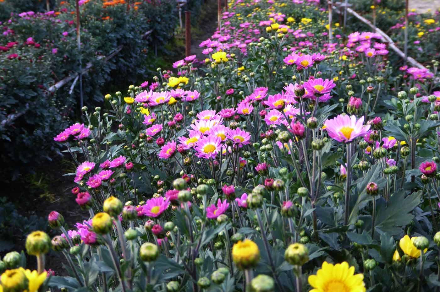 花の里フローラルビレッジ名倉の菊の写真