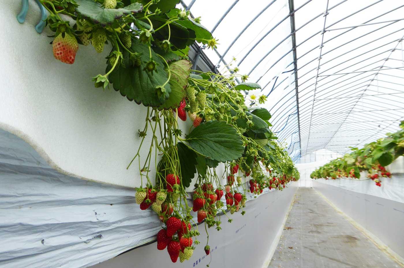 パークサイド苺園の高設栽培の様子