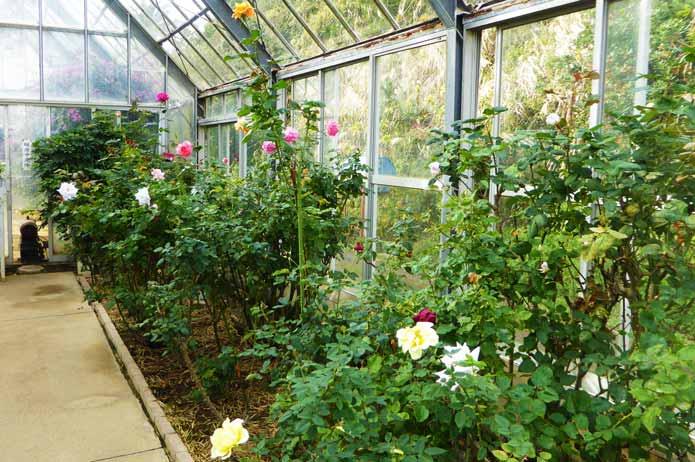 太海フラワーセンターの連続温室内のバラの画像