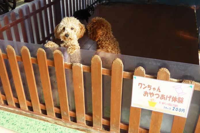 犬猫ランドのトイプードルの画像