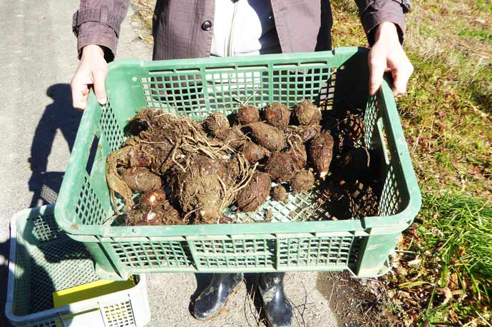 収穫した里芋の画像