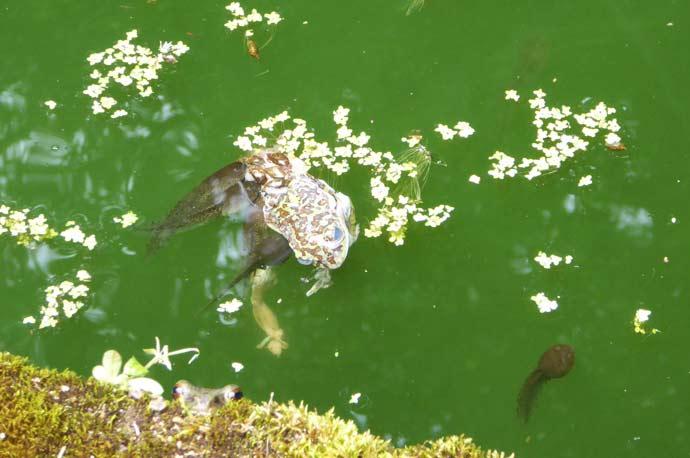 モリアオガエルを食べるオタマジャクシの画像