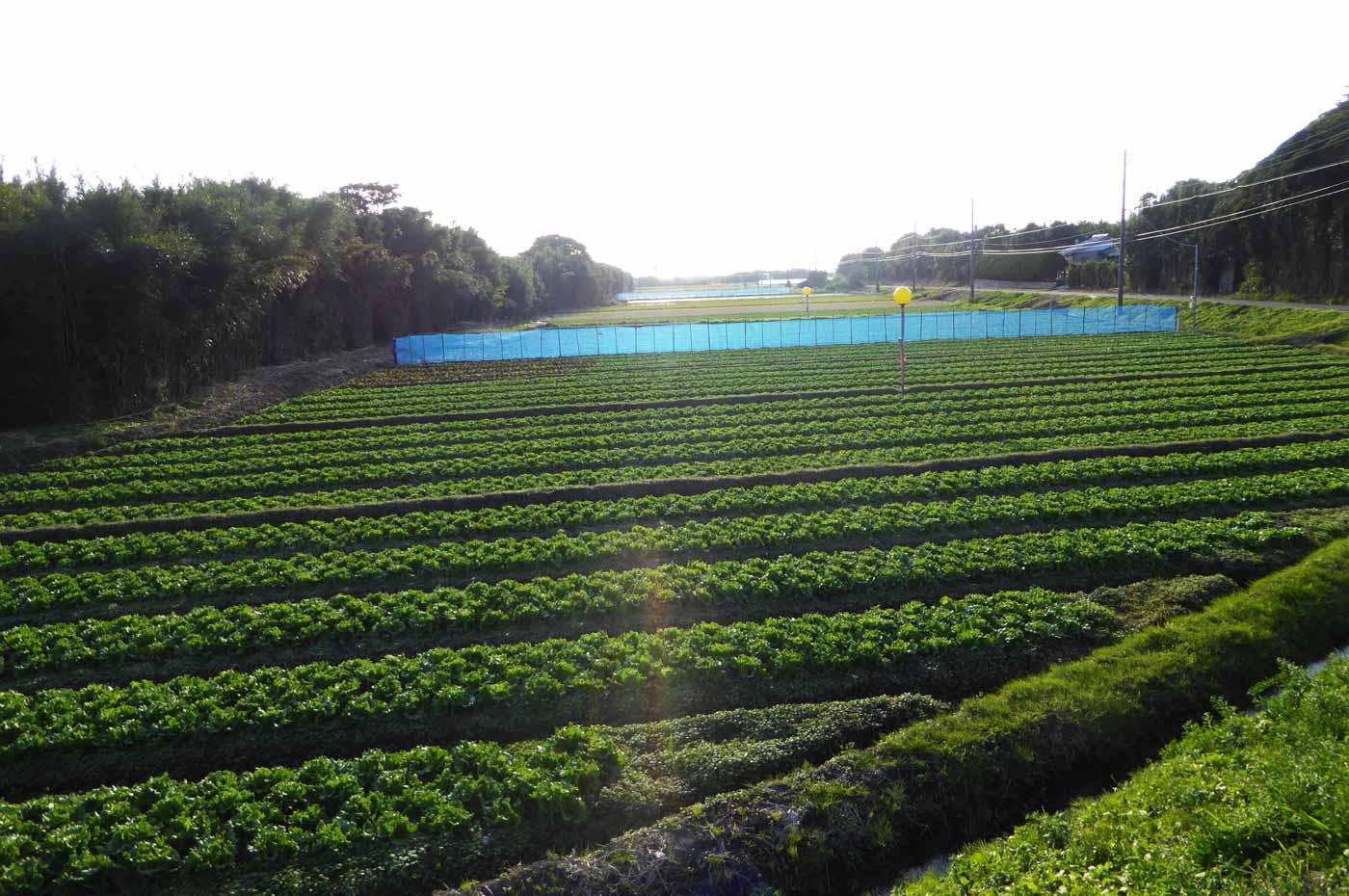 神戸レタスの農園