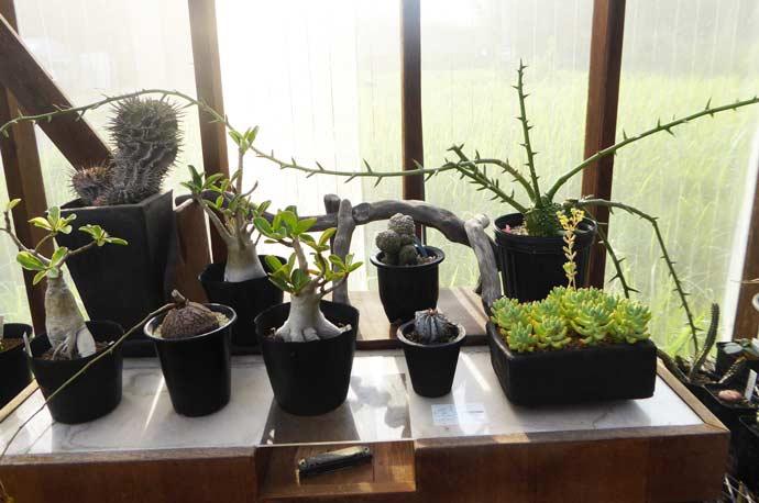 Binoweeの多肉植物8