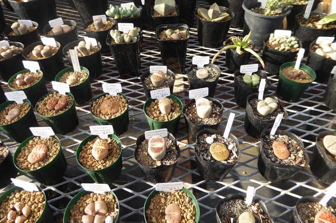 Binoweeの多肉植物9