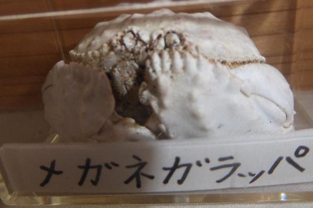 メガネかラッパの化石