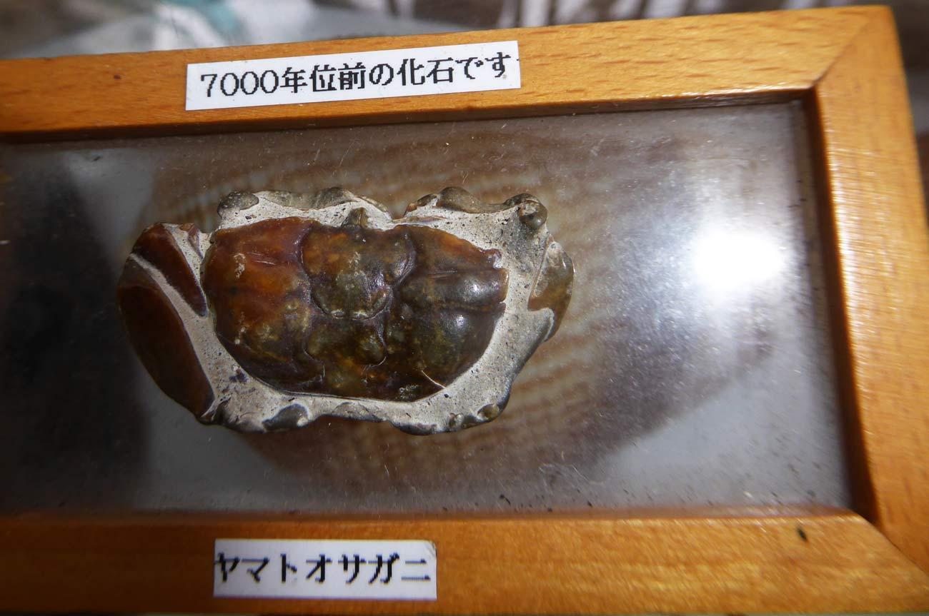 ヤマトオサガニの化石の画像