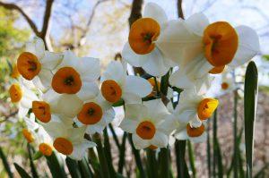 江月水仙ロードの水仙の花の画像