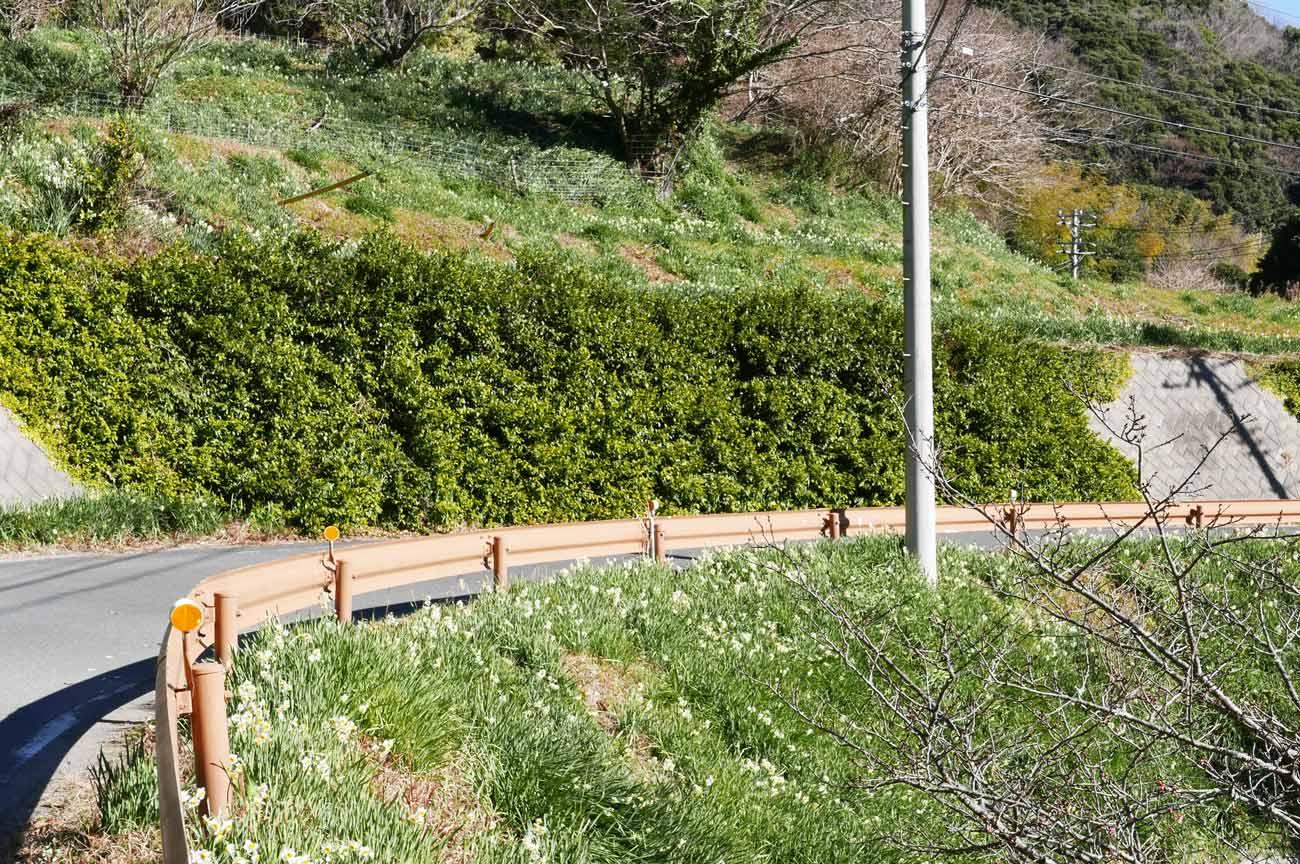 斜面に咲く水仙の画像