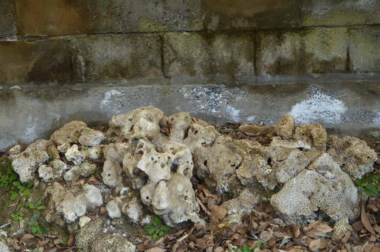 サンゴの化石の画像